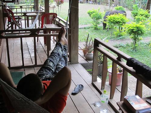 Muang Ngoi: Madame la vache vient, en toute liberté, brouter dans le jardin de notre guesthouse, sous les yeux de Mister J