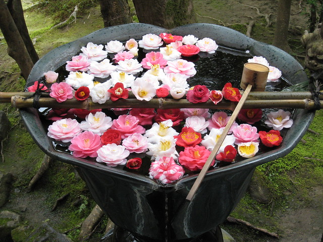 Fallen camellias (tsubaki) in Honenin, Kyoto