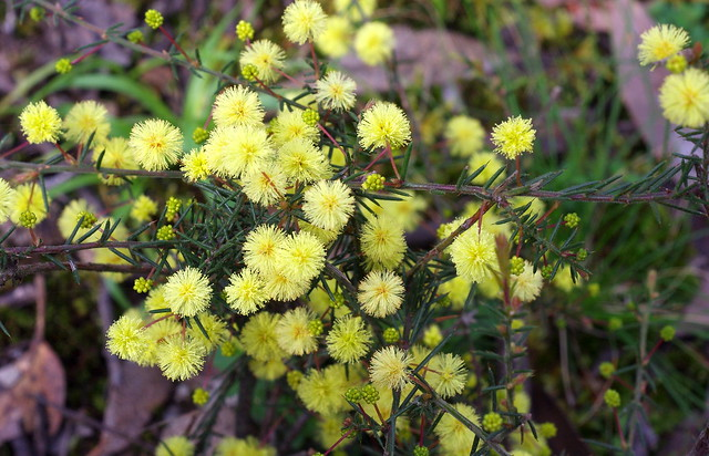 Header of Acacia aculeatissima