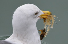 Gull with herring eggs