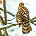 Coopers Hawk 2 by ChristineDarnell