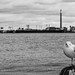 Gull by Peter_Cameron
