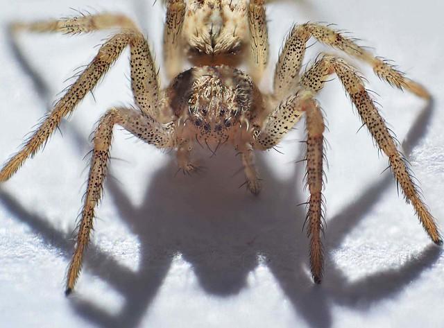 spider-baby hobo spider