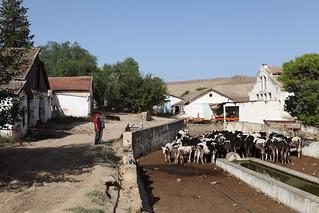 un élévage bovins en Tunisie (BY-ND-../....)