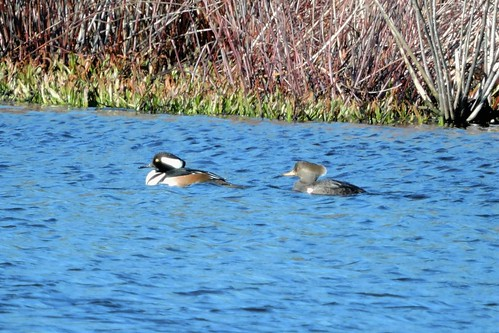 Hooded Merganser #54
