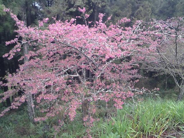 河津花和山櫻花。 (3)