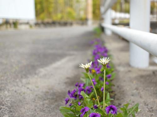 White dandelion. 白花タンポポ, 白花蒲公英,