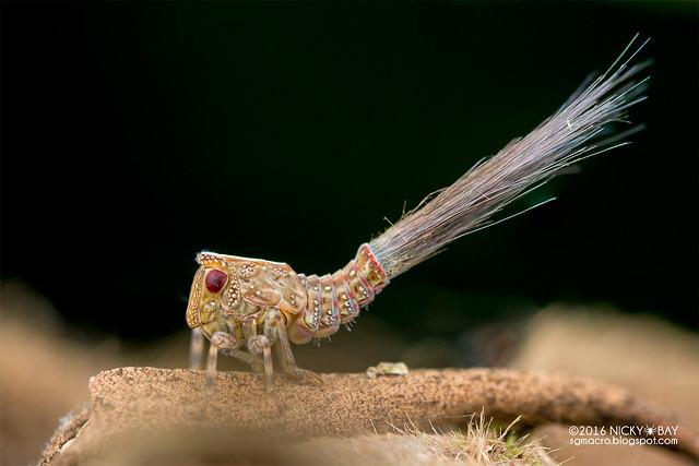 Planthopper nymph (Fulgoromorpha) - DSC_6620
