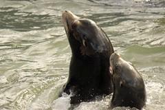 Sea lions at Cornish Seal Sanctuary