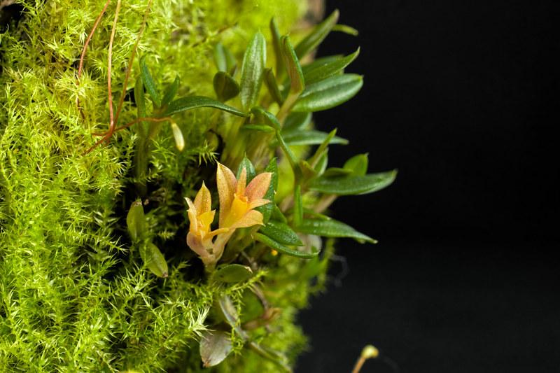 Miniatur-Orchideen Teil 3 - Seite 6 25782474331_bb12fcb090_c