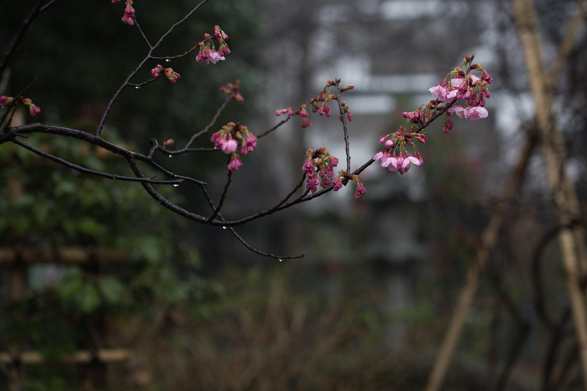 2016-03-19 桜 001-12