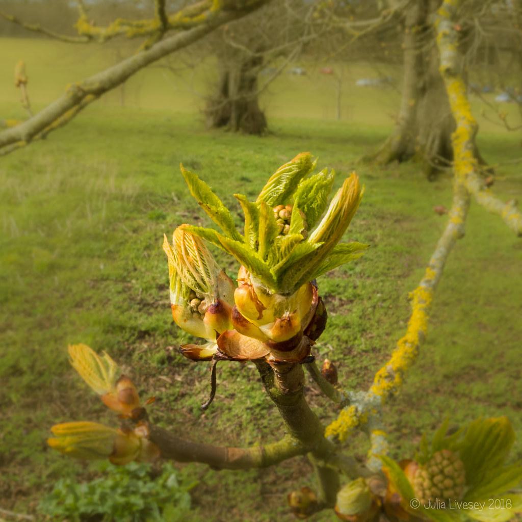 Horse Chestnut bud bursting