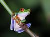 Red-eyed Tree Frog - Laguna Lagarto, Costa Rica