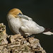 JWL0779  Gannet...... by jefflack Wildlife&Nature