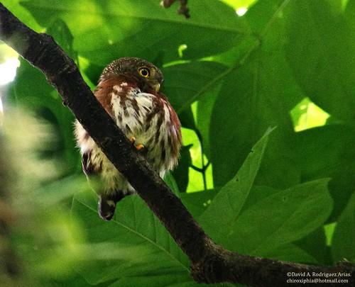 costarica glaucidiumgriseiceps thebirdingexperience