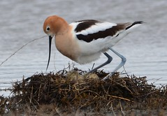 American Avocet - Alameda Point