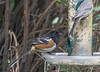 Spotted Towhee on feeder