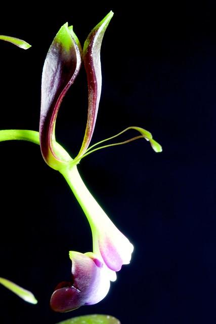 Epidendrum melanoporphyreum 24097980094_9a39a0def8_z