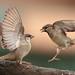 Moineaux domestiques - ( Passer domesticus ) House Sparrow #1175