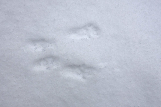 DSC00678 Squirrel Foot Prints