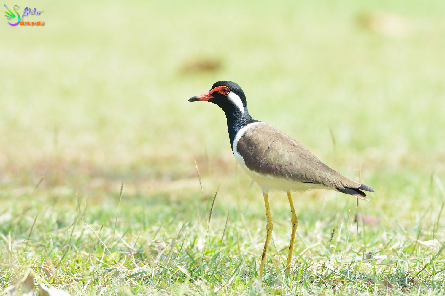 Red-wattled_Lapwing_2571