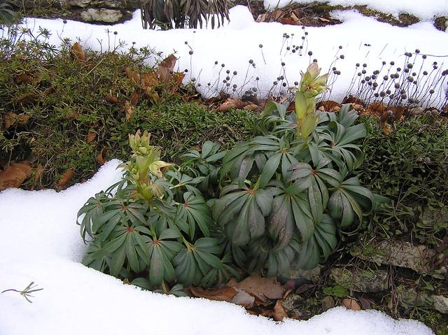 Helleborus foetidus, Tallinn Botanic Garden