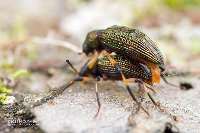 Darkling beetle (Strongylium  sp.) - DSC_6714