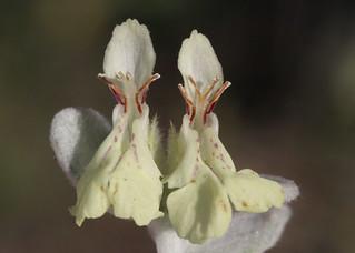 Stachys chrysantha