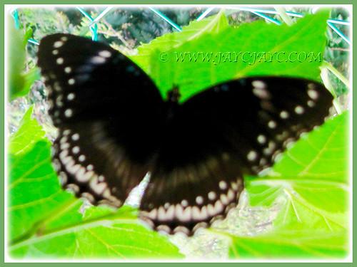 Hypolimnas bolina jacintha (Jacintha Eggfly) came-a-visiting, Feb 25 2016