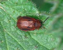 Hawthorn Leaf Beetle - Lochmaea crataegi