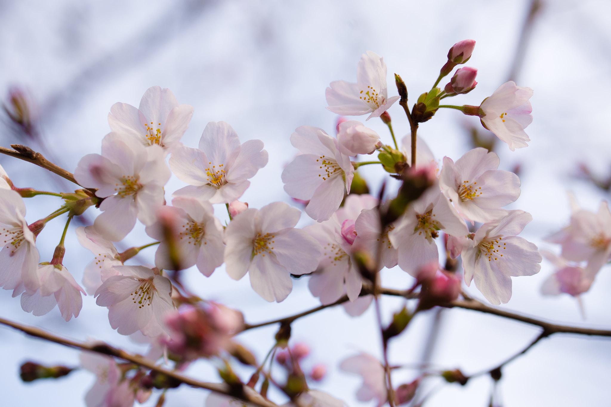 2016-03-22 ソメイヨシノ 001-6