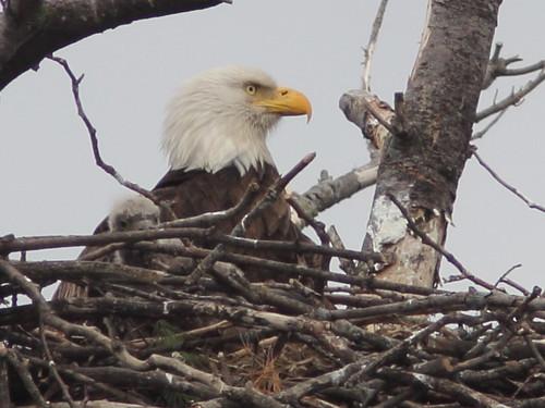Bald Eagle female and eaglet 20160420