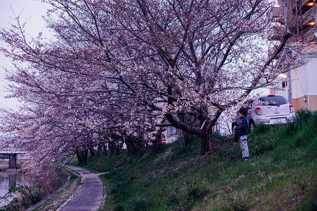 CherryBlossoms_11