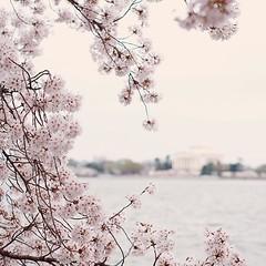 Lovely #cherryblossom #washingtondc #flower #vscocam #fujifilm