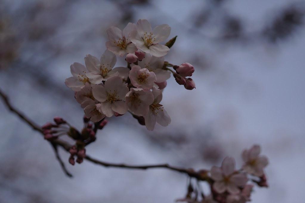 桜 × S-Planar