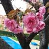 Preciosas las #flores de mi #árbol , lo compré porque solo avanzaba dos metros y tuvo que trasplantarse al jardín junto a la piscina #primavera #spring #instagood #iphone6