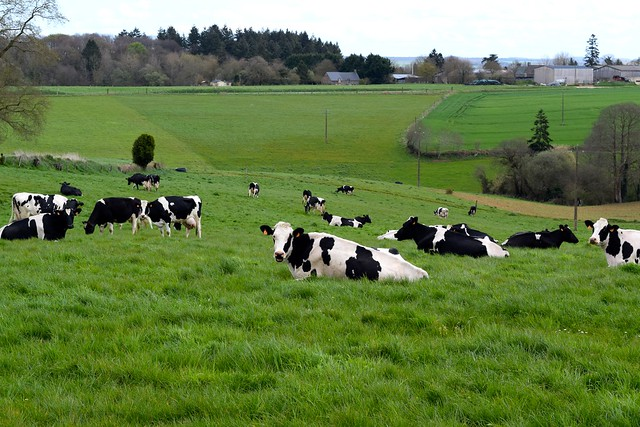 Local Cows in Brittany, France | www.rachelphipps.com @rachelphipps