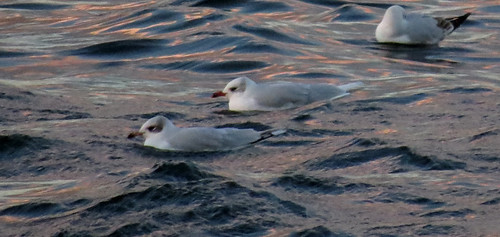 Mediterranean Gull Ichthyaetus melanocephalus Tophill Low NR, East Yorkshire December 2015