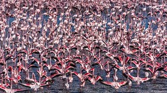 The Flamingos Flock Of Kimberley's Kamfers Dam @ South Africa