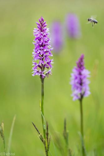 flowers österreich orchids pflanzen blumen steiermark dactylorhiza orchideen leoben at göss