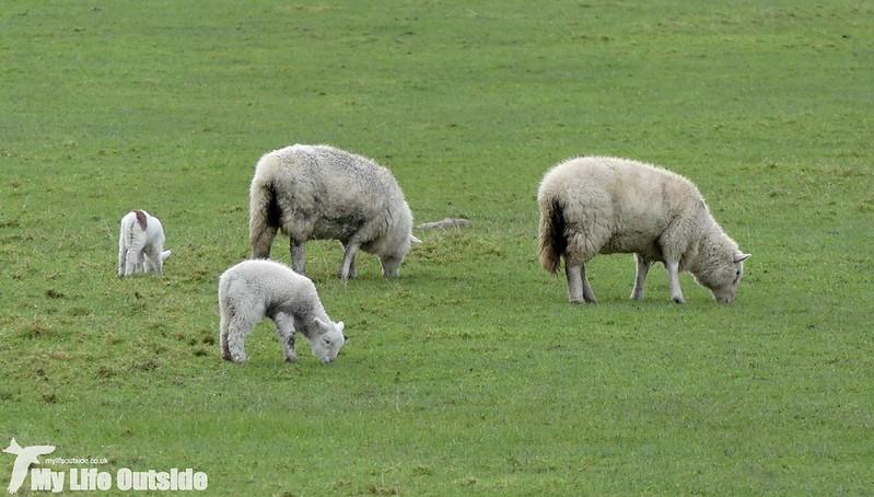 P1000093 - First 2016 Lambs, Aberystwyth