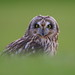 Short-eared Owl by Martial2010