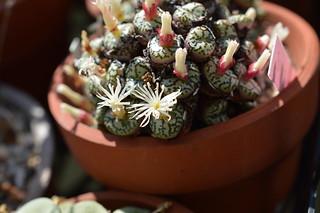 DSC_0088 Conophytum ursprungianum コノフィツム 藤原阿嬌