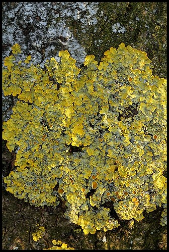Xanthoria parietina (1)