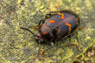 Darkling beetle (Ceropria sp.) - DSC_4747