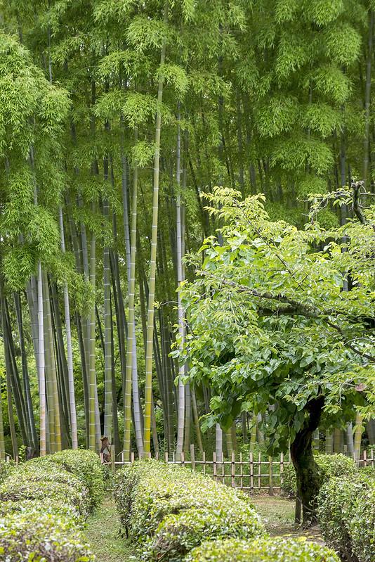 bamboo and tea fields @ Shukkei-en