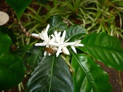 Coffea arabica (Rubiaceae)