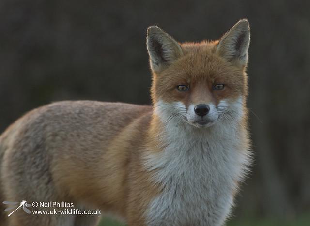 Red fox-14