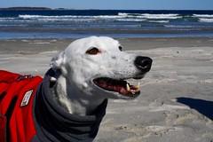 Greyhound Adventures at Crane Beach, Ipswich MA, March 20th 2016