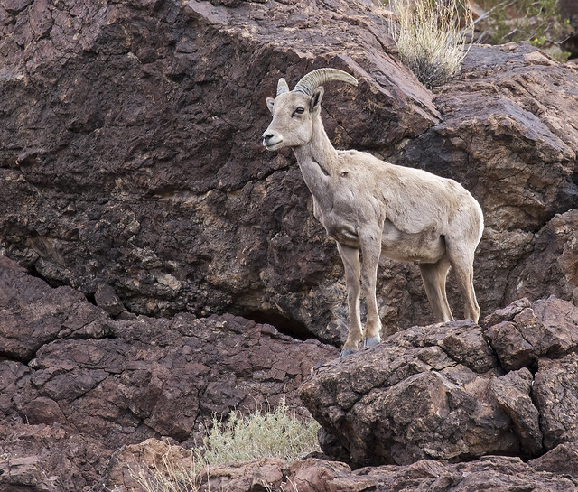 Long Horn Sheep 36_7D2_240316